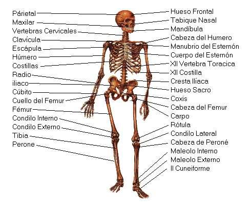 Cuerpo humano los musculos y el esqueleto