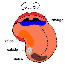 dibujo clase papilas lengua: