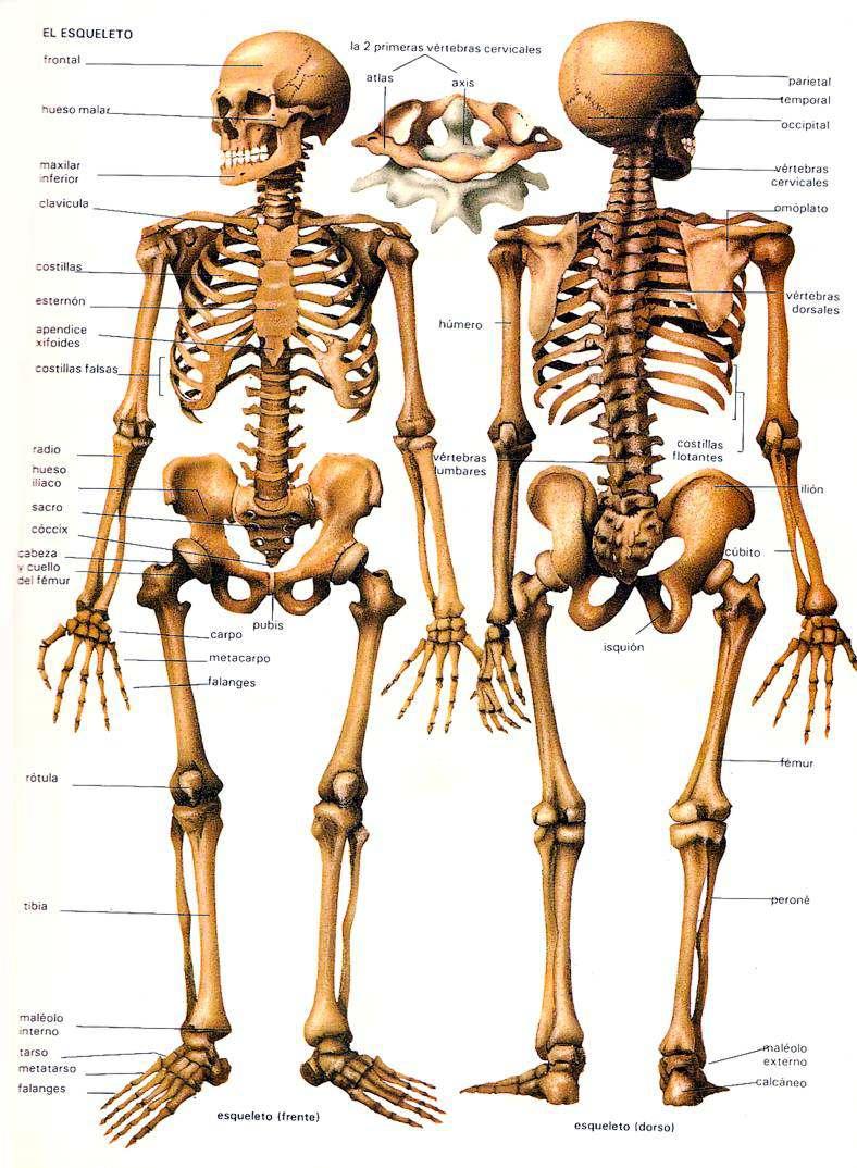 EL ESQUELETO HUMANO, Huesos del Cuerpo