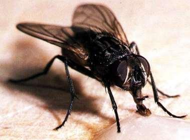 y moscas