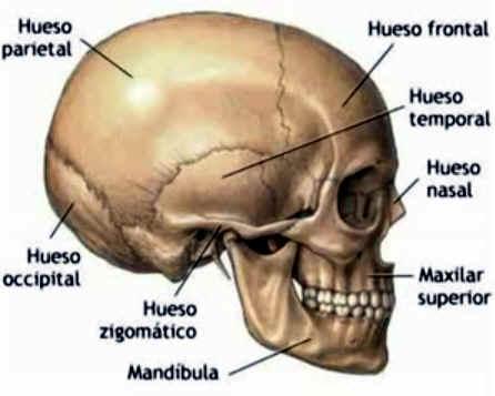 Huesos del craneo y cara para colorear - Imagui